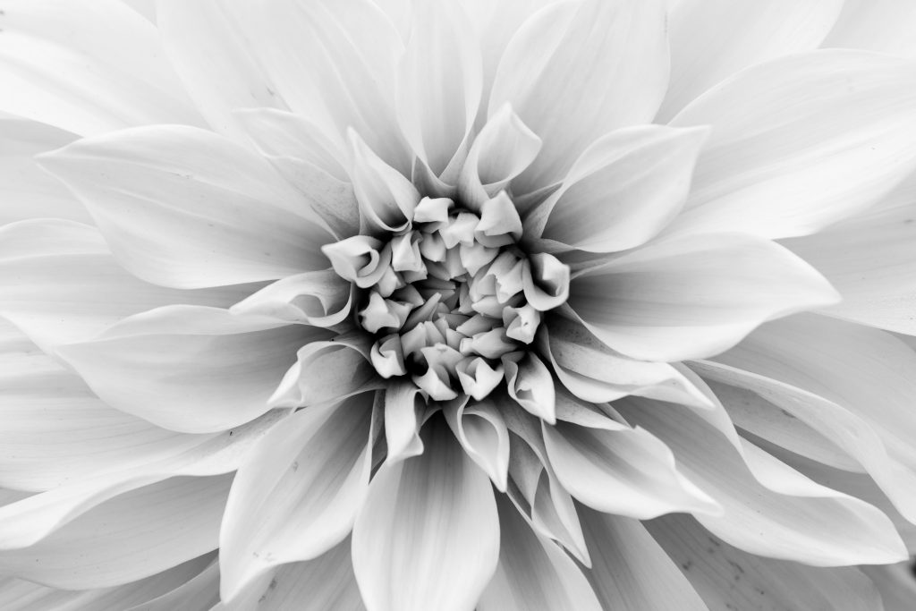 6a/52, dahlia, flower, black and white
