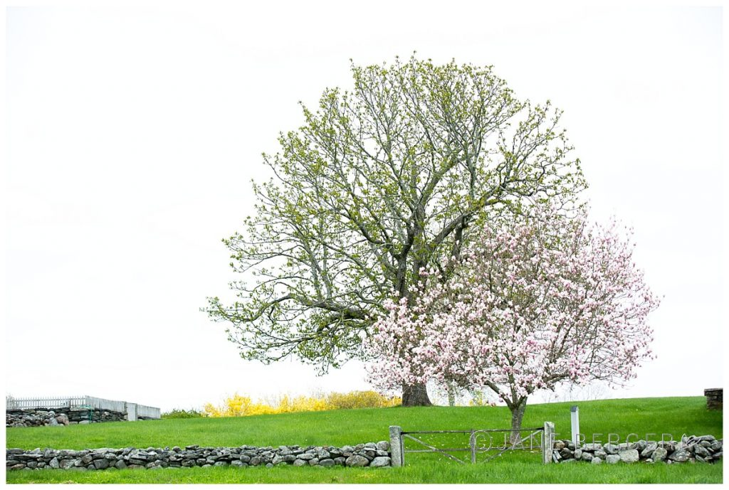 22/52 flowering-tree-maine-photography