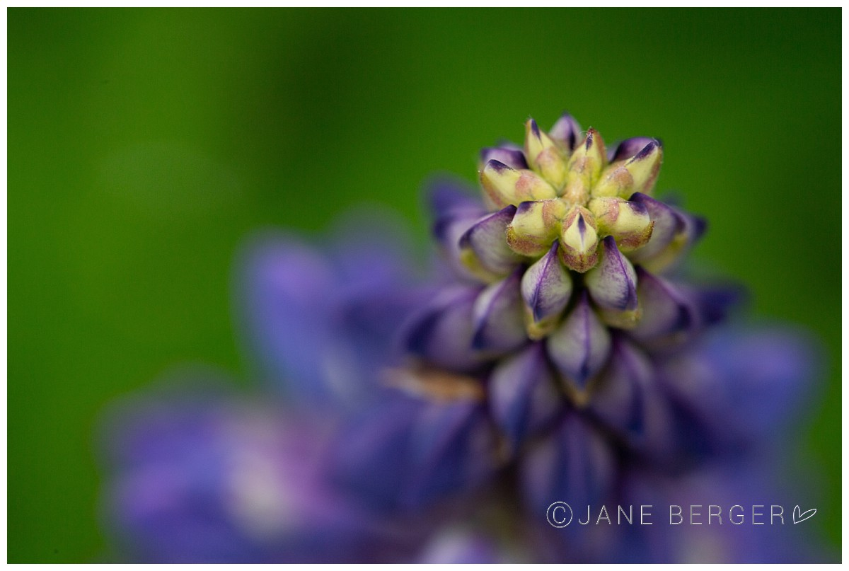 pemaquid lupines maine photographer