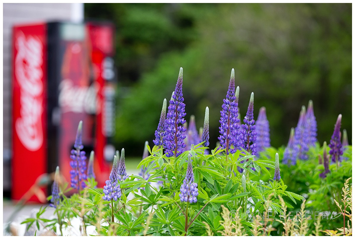 pemaquid lupines maine photographer coca cola