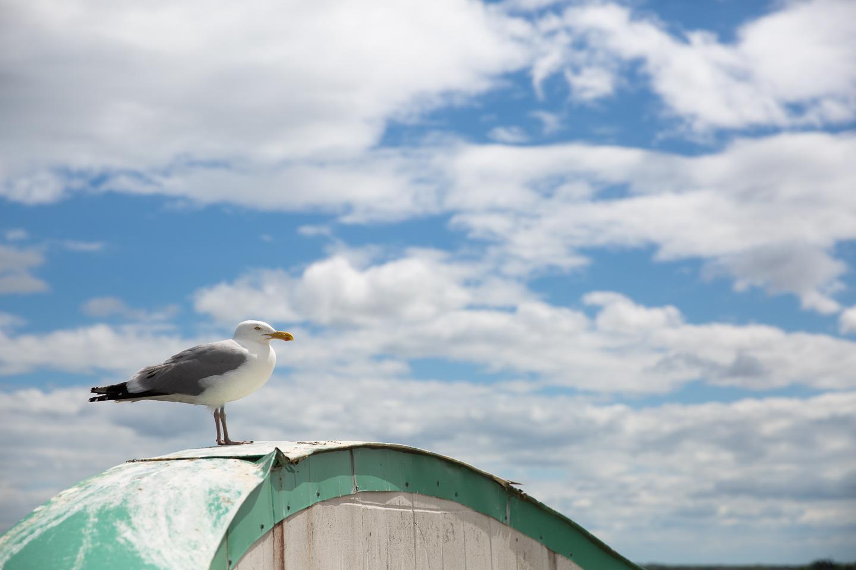 portland maine seagull